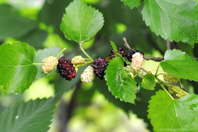 Mulberry-Ginger Sorbet - a refreshing summer dessert that uses the free berries growing in your yard! Can also be made with blackberries.